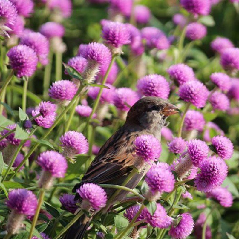 sparrow eating seed with purple flowers